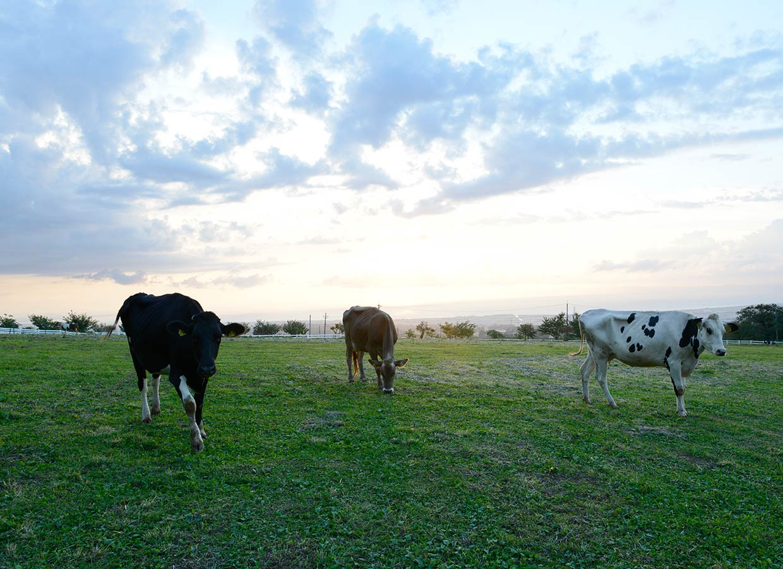 くろべ牧場 夕暮れ時 牛さん
