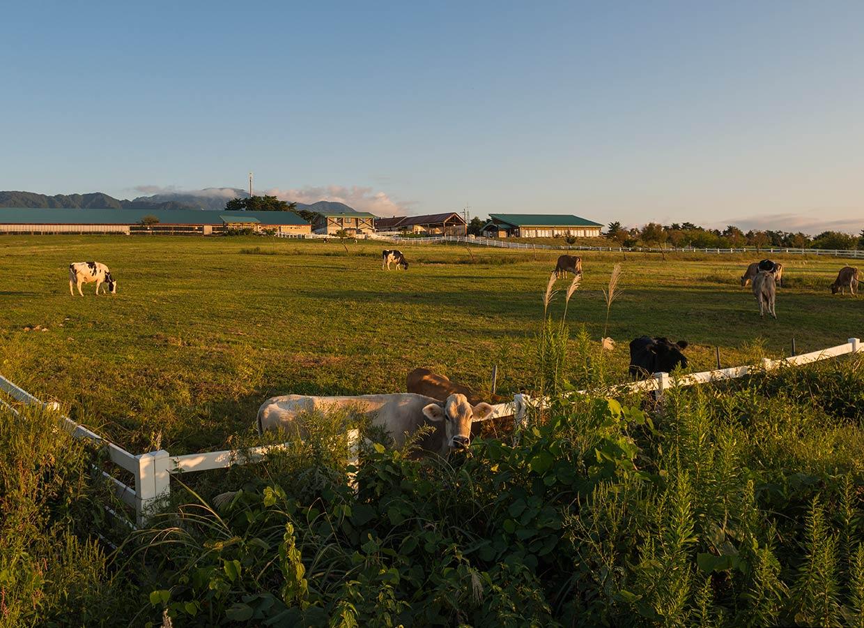 くろべ牧場 夕暮れ時の牛たち
