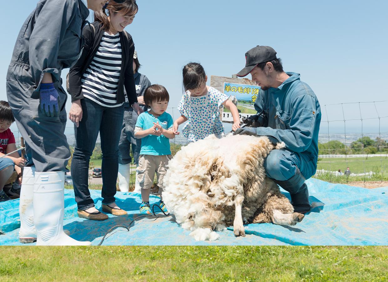 くろべ牧場 ひつじの毛刈り体験