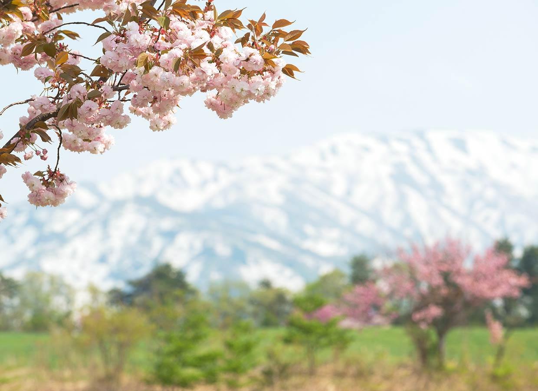 春のくろべ牧場 桜
