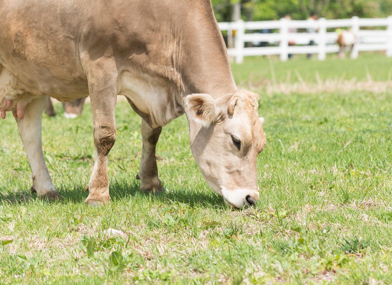 くろべ牧場の牛さん